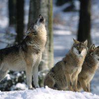 La Roue du Loup